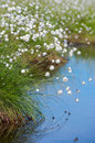 Flowering cotton grass in the swamp above water western siberia Stock Images