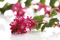 Flowering currant ribes sanguineum flowering twig Royalty Free Stock Photo