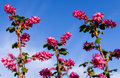Flowering currant ribes sanguineum or red is a species of plant Stock Image