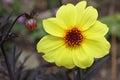 Flowering dahlia and unopened bud yellow flower flowerbud Stock Photos