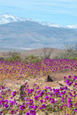 Flowering desert in the Chilean Atacama Desert Royalty Free Stock Photo
