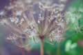 Flowering dill fennel foeniculum vulgare Royalty Free Stock Photography