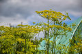 Flowering dill herbs plant in the garden (Anethum graveolens). Close up of fennel flowers Royalty Free Stock Photo
