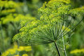 Flowering dill herbs plant in the garden Anethum graveolens. Close up of fennel flowers Royalty Free Stock Photo