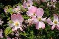 Flowering Dogwood - Cornus Florida Rubra Pink flowers Royalty Free Stock Photo
