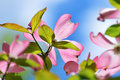 Flowering dogwood detail flower back and blue sky Royalty Free Stock Photo