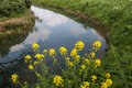 Flowering field mustard on the banks of a ditch yellow blooming wild or sinapis arvensis plants reflected in mirror smooth water Stock Photo