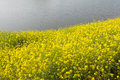 Flowering field mustard at the river banks yellow blooming wild in spring season next to rippling water surface of a small Stock Photos