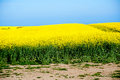 Flowering field of rape fields covered with bright yellow rapeseed flowers Royalty Free Stock Photos