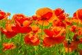 Flowering flowers of scarlet poppies