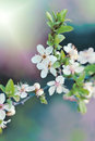 Flowering fruit tree blooming branch Stock Photography