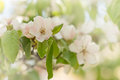 Flowering fruit tree quince flower in spring Royalty Free Stock Photos
