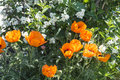 Flowering garden flowers orange poppys against the background white jasmine Royalty Free Stock Photos