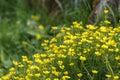 Flowering goldilocks buttercup flowers on meadow Royalty Free Stock Photos