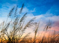 Flowering of grass in beautiful sunset background Stock Images