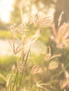 Flowering grass flower in sun light Stock Photography