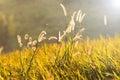 Flowering grass Royalty Free Stock Photo