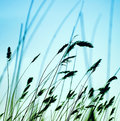 Flowering grass silhouettes of against the sky Stock Photos