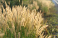 Flowering grass during the sunrise Royalty Free Stock Photo