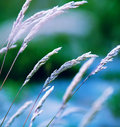 Flowering grass variegated shapes of Stock Images