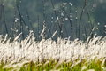 Flowering grasses swaying on wind strength Stock Image