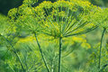 Flowering green dill herbs plant in garden Anethum graveolens. Closeup of fennel flowers on summer time. Agricultural background Royalty Free Stock Photo