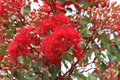 Flowering gum tree in early summer Victoria Australia Royalty Free Stock Photo
