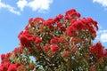 Flowering gum tree in summer Victoria Australia Royalty Free Stock Photo
