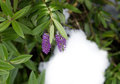 Flowering heather plant winter outdoors Royalty Free Stock Image