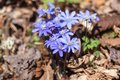 Flowering hepatica blossoming flower in early spring Stock Photo