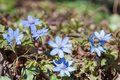 Flowering hepatica in early spring Stock Image