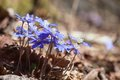 Flowering hepatica in early spring Stock Photo