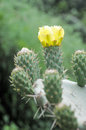 Flowering indian fig opuntia israel carmel mountain ficus indica Royalty Free Stock Photography