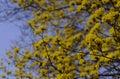 Flowering Japanese Cornelian C...