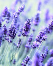 Flowering Lavender Stock Photography