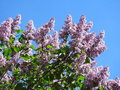Flowering lilac bush Royalty Free Stock Photo