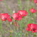 Flowering Linum grandiflorum Royalty Free Stock Photo