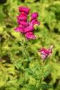 Flowering lion yawn Antirrhinum Royalty Free Stock Photo