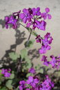 Flowering Lunaria annua plant on neutral background Royalty Free Stock Photo