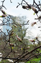 Flowering magnolia in the spring city a branch of is against blurred background of Stock Photography