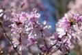 Flowering magnolia tree Royalty Free Stock Photos