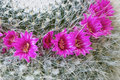 Flowering mammillaria bright flowers of a cactus in home Stock Photo