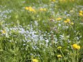 Flowering meadow with many flowers Royalty Free Stock Photo