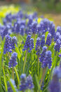Flowering muscari blue flowers of in the morning sunlight Royalty Free Stock Photo