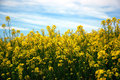 Flowering mustard field Royalty Free Stock Photo