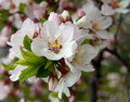 Flowering Nanking Cherry Royalty Free Stock Photos