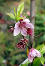 Flowering nectarine spring in the garden Royalty Free Stock Photos