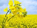 Flowering oilseed Royalty Free Stock Photo