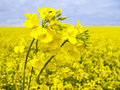 Flowering oilseed rape Royalty Free Stock Photo