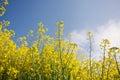 Flowering oilseed rape Royalty Free Stock Photo